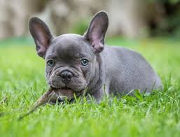 French Bulldogs Puppies – Some fun facts